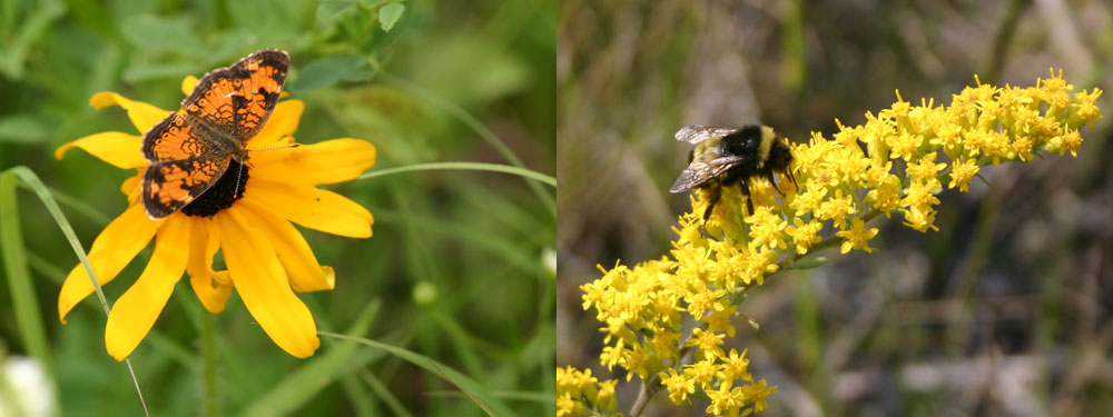Photo of Butterfly on Rudbeckia and Bombus on Solidago nemoralis | Photo de papillon sur Rudbeckia et Bombus sur Solidago nemoralis
