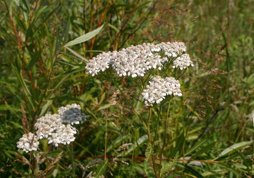 Photo of a Common Yarrow plant.