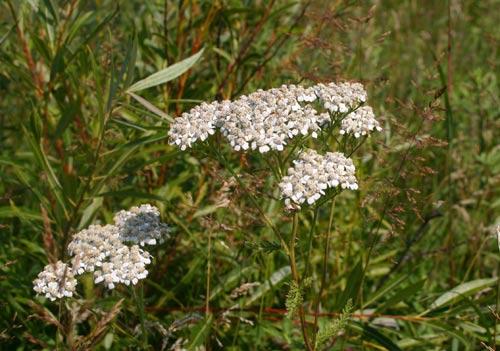 Photo of a Common Yarrow plant.