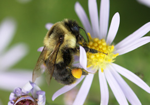 Photo of a bumblebee with a full pollen basket on an aster flower.