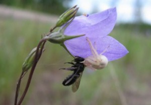 Photo of a crab spider eating a halictid bee on a Harebell flower.