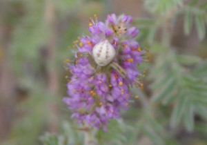 Photo of a crab spider on the flowers of a Hairy Prairie-clover.