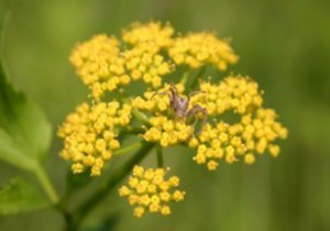 Photo of a spider on the flowers of Golden Alexander.