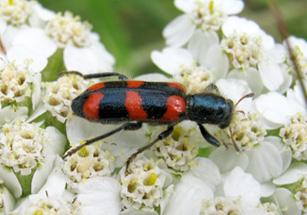 Photo of a Red-blue Checkered Beetle on the flower head of Common Yarrow.