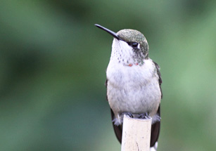 Photo of an immature male Ruby-throated Hummingbird (front view).