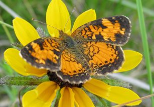 Photo of a Northern Pearl Crescent butterfly on a Black-eyed Susan flower head.