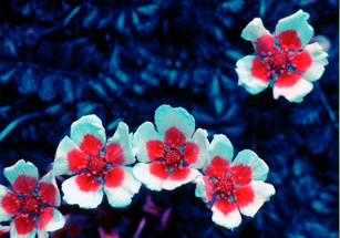 Photos of a cinquefoil plant under normal and UV light.