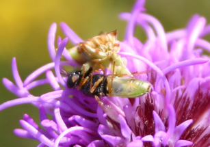 Photo of an ambush bug eating a soldier fly on a Meadow Blazingstar flower head.