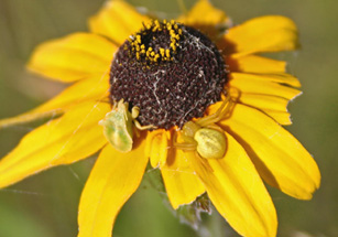 Photo of an ambush bug and goldenrod spider on a Black-eyed Susan flower head.