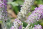 A video about the rare Hairy Prairie-clover plant and its pollinators.