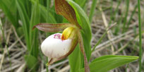A video about the pollinators of the rare Small White Lady's-slipper plant.