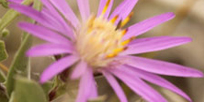 A video about the pollinators of the rare Western Silvery Aster plant.