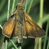 Photo of a Dakota Skipper butterfly.