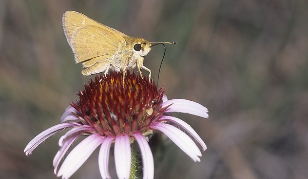 Photo of an Ottoe Skipper butterfly.