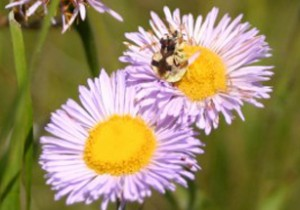 Photo of mating ambush bugs on a Smooth Fleabane flower head.