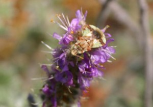 Photo of an ambush bug on the flowers of Hairy Prairie-clover.