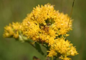 Photo of an ambush bug on a Rigid Goldenrod flower head.