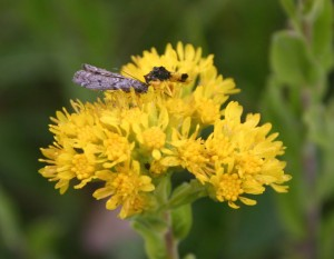 Photo of an ambush bug eating a moth on a Rigid Goldenrod flower head.