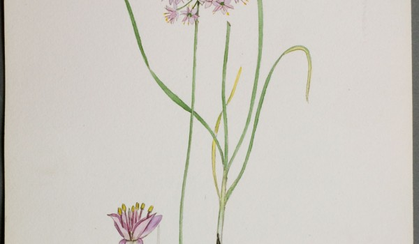 Photo of a watercolour painting of a Pink-flowered Onion plant.
