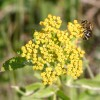 Photo of a mining bee on Golden Alexander flowers.