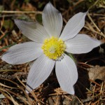 Photo of a Prairie Crocus plant.
