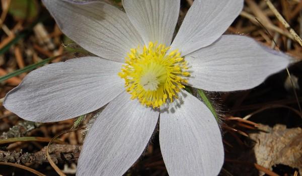Photo of a Prairie Crocus plant.