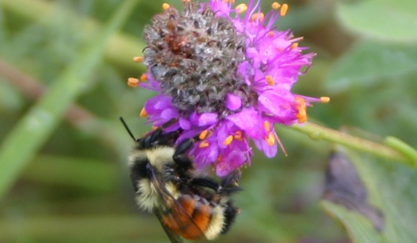 Photo of a bumblebee on Purple Prairie-clover flowers.