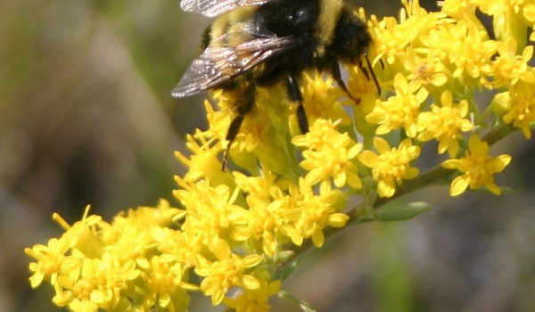 Photo of a bumblebee on Showy Goldenrod flower heads.