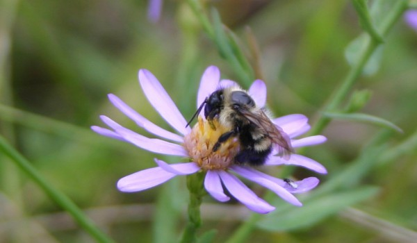 Photo of a bumblebee on a Smooth Aster flower head.