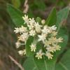 Photo of a Dwarf Milkweed plant.