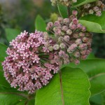 Photo of a Showy Milkweed plant.
