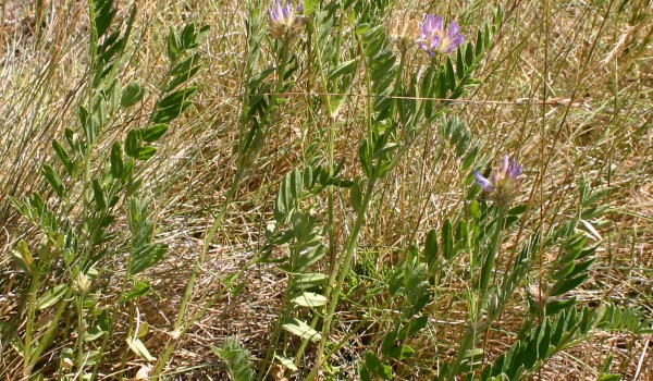 Photo of an Ascending Purple Milk-vetch plant.