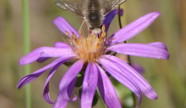Photo of a bee fly on a Western Silvery Aster flower head.