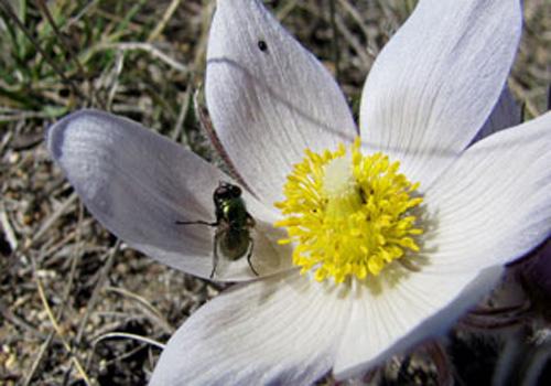 Photo of a blow fly on a Prairie Crocus flower.
