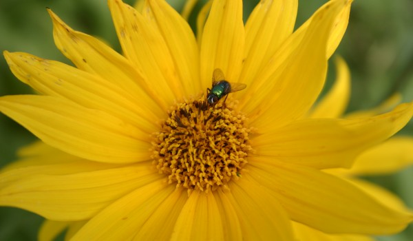Photo of a blow fly on a Narrow-leaved Sunflower head.