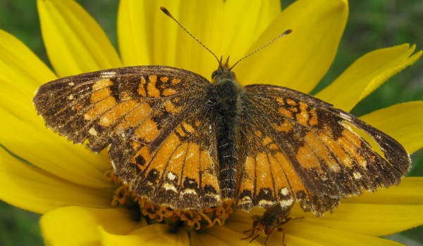Photo of a thick-headed fly and a Silvery Checkerspot butterfly on a False Sunflower head.