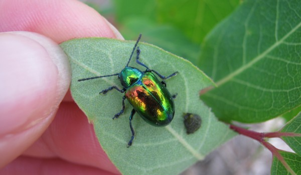 Photo of a dogbane beetle on dogbane flowers.