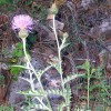 Photo of a Flodman's Thistle plant.