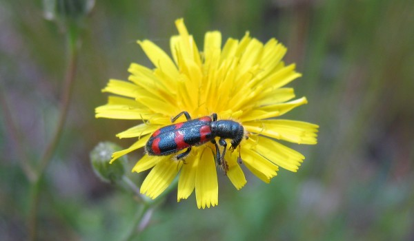 Photo of a Red-blue Checkered Beetle on a hawk's-beard flower head.