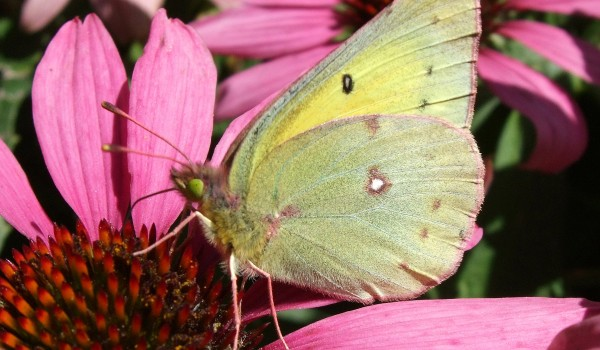 Photo of a Sulphur butterfly on the head of a Purple Coneflower.