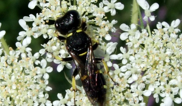 Photo of a square-headed wasp on Queen Anne's Lace flowers.