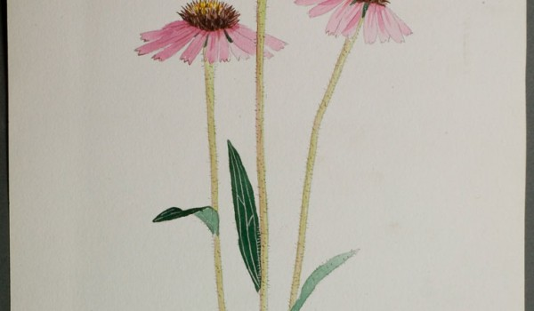 Photo of a watercolour painting of a Purple Coneflower plant.