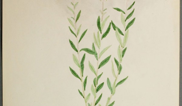 Photo of a watercolour painting of a Seneca Root plant.