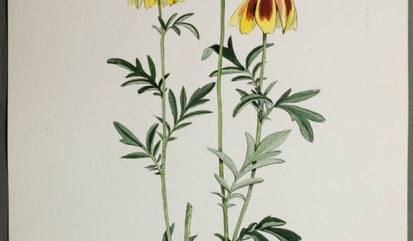 Photo of a watercolour painting of a Prairie Coneflower plant.