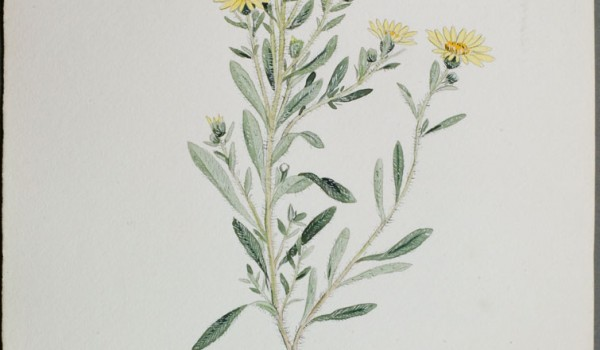 Photo of a watercolour painting of a Hairy Golden-aster plant.