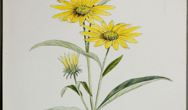 Photo of a watercolour painting of a Narrow-leaved Sunflower plant.