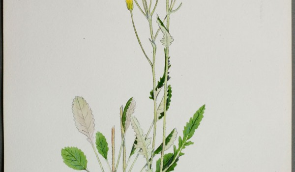 Photo of a watercolour painting of a Prairie Groundsel plant.