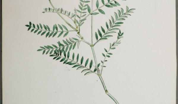 Photo of a watercolour painting of a Ascending Purple Milk-vetch plant.
