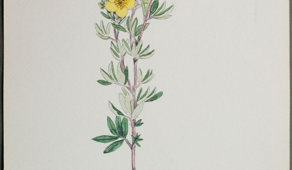 Photo of a watercolour painting of a Shrubby Cinquefoil plant.
