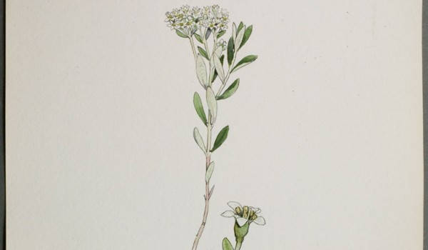 Photo of a watercolour painting of a Pale Comandra plant.